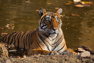 Female Royal Bengal Tiger cools in the water hole while her new cubs wait, hidden near by.