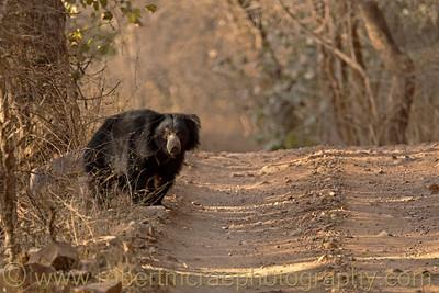 A cautious Sloth Bear.