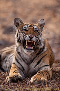 Fifteen month old female Tiger cub smiles.