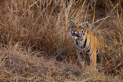 Six month old Royal Bengal Tiger cubs.