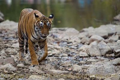 Female Royal Bengal Tiger.