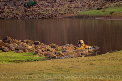 Large male Royal Bengal Tiger cools in the lake.