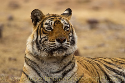 This female Royal Bengal Tiger is the Queen of Ranthambhore National Park.  She is 14 years old and has given birth to 11 cubs, 9 of which survived to adulthood.