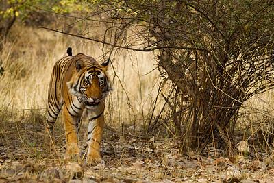 Male Royal Bengal Tiger.