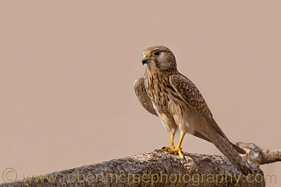 A female Common Kestrel.