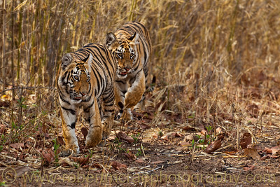 Six month old Royal Bengal Tiger cubs.