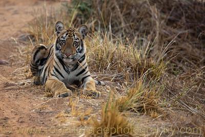 Six month old Royal Bengal Tiger cub.