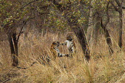 Eighteen month Tiger cubs battle for dominance.