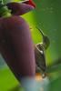 Long-billed Spiderhunter (Arachnothera robusta) at Bukit Tinggi, Malaysia, October 2015. [Arachnothera robusta 001 BukitTinggi-Malaysia 2015-10]