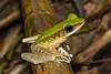 A male Poisonous Rock Frog, or Hose's Frog (Odorrana hosii), Bukit Tinggi, Malaysia, October 2015.  [Odorrana hosii 008 BukitTinggi-Malaysia 2015-10]