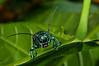 An unidentified longicorn (longhorn) beetle from Papua, Indonesia. [Cerambycidae 05 004 YapenIs-Papua 2009-03]