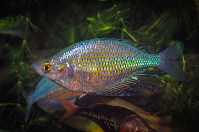 Male Dority's Rainbowfish (Glossolepis dorityi), known only from one small lake near Sentani, Papua. Perhaps the most endangered fish in New Guinea. Photographed in 2000. [Glossolepis dorityi 004 Papua 2000]