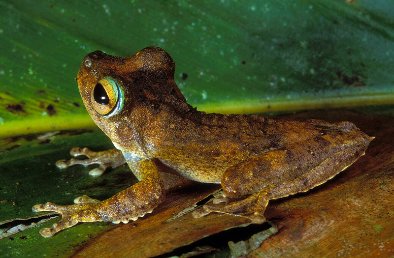 """""""Litoria eucnemis"""", a Hylid (tree frog), from Yapen Island, Papua, Indonesia. [194012-15]"""