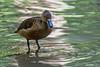 Lesser Whistling Duck (Dengrocygna javanica) at Chiang Mai Zoo, Thailand, November 2014. [Dengrocygna javanica 001 ChiangMaiZoo-Thailand 2014-11]