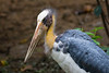 Lesser Adjutant (Leptoptilos javanica), a stork of Asia. Photographed in the grounds of the Saigon Zoo, so possibly not a wild bird. Ho Chi Minh City, Vietnam, May 2015. [Leptoptilos javanica 008 SaigonZoo-Vietnam 2015-05]