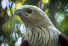 Brahminy Kite (Haliastur indus), a common raptor throughout South-East Asia, in Chiang Mai Zoo, Thailand, November 2014. [Haliastur indus 012 ChiangMaiZoo-Thailand 2014-11]