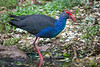 A wild Purple Swamphen or Purple Gallinule (Porphyrio porphyrio viridis) at Saigon Zoo in Ho Chi Minh City, Vietnam, May 2015. [Porphyrio porphyrio viridis 001 HCMC-Vietnam 2015-05]