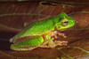A male Western Highlands Tree Frog (Litoria cf. iris) from Nipsan in the Star Mountains, Papua, Indonesia, March 2003. [Litoria cf iris 004 Nipsan-Papua DP203007]
