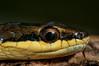 Coconut Tree Snake (Dendrelaphis calligastra) in Sentani, Papua, Indonesia. April 2013. [Dendrelaphis calligastra 024 Sentani-Papua 2013-04_TC]