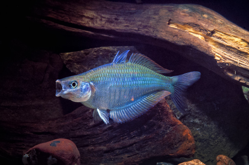 Chilatherina pricei (Price's Rainbowfish), from the Reifafeif River, Yapen Island, New Guinea. [Chilatherina pricei 001 YapenIs-Papua_nik_TC]