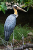 Lesser Adjutant (Leptoptilos javanica), a stork of Asia. Photographed in the grounds of the Saigon Zoo, so possibly not a wild bird. Ho Chi Minh City, Vietnam, May 2015. [Leptoptilos javanica 001 SaigonZoo-Vietnam 2015-05]