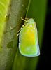 Taparella sp01 001 YapenIs-Papua 2008-12