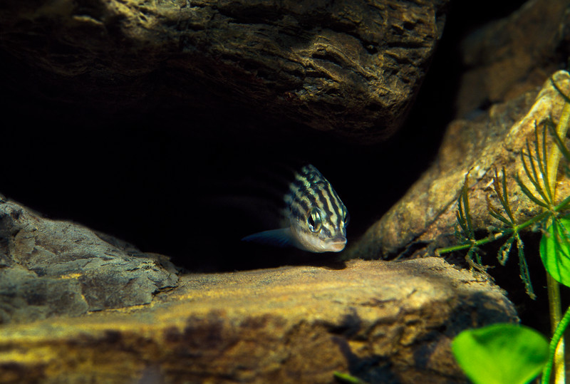 Freshwater grunter from Lake Kamaka, New Guinea.
