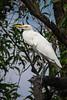 Cattle Egret (Bubulcus ibis) at Rot Fai Park, Bangkok, Thailand, March 2014. [Bubulcus ibis 009 Bangkok-Thailand 2014-03]
