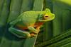 Litoria auae, a species of tree frog from the southern lowlands of New Guinea, photographed near Merauke, Papua, Indonesia, March 2004.  [Litoria auae 001 Merauke-Papua 2004-03 DP204014]