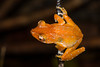 Male Cinnamon Frog (Nyctixalus pictus) in Central Catchment, Singapore, November, 2014. [Nyctixalus pictus 009 Singapore 2014-11]