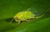 Baeturia sp. of cicada from Sentani, Papua, Indonesia, October 2008. [Baeturia sp01 001 Sentani-Papua 2008-10]