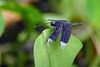Decorated Grasshawk Dragonfly (Neurothemis decora) on Yapen Island, Papua, Indonesia, July 2006.  [Neurothemis decora 002 YapenIs-Papua 2006-07]