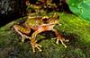 Arfak Torrent Treefrog (Litoria arfakiana--probably), Yapen Island, Papua.