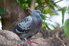A feral Rock Dove or Rock Pigeon (Columba livia) in Rot Fai Park, Bangkok, Thailand, May 2016. [Columba livia 014 RotFaiPark 2016-05]