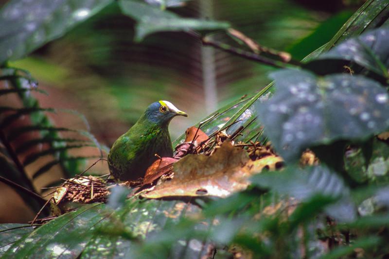 Coroneted Fruit-Dove