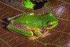 A male Western Highlands Tree Frog (Litoria cf. iris) from Nipsan in the Star Mountains, Papua, Indonesia, March 2003. [Litoria cf iris 001 Nipsan-Papua DP203007]