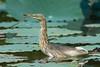 Chinese/Javan Pond-Heron