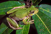 """Baliem River Valley Tree Frog (Litoria umbonata) photographed at Wamena, February 2004. This species' advertisement calls sound like the rattling or """"tak-tak-tak"""" of a small motorcycle with the baffles removed and passing noisy motorcycles appeared to elicit calls at night. [Litoria umbonata 001 Wamena-Papua DP204001 2004-02]"""