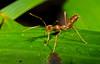 Weaver Ant (Oecophylla smaragdina) from Warironi, New Guinea, October 2010. [Oecophylla smaragdina 001 YapenIs-Papua 2008-10]