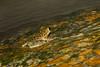 A Cascade Torrent Frog (Amolops larutensis) at a waterfall in Bukit Tinggi, Malaysia, October 2015. [Amolops larutensis 011 BukitTinggi-Malaysia 2015-10]