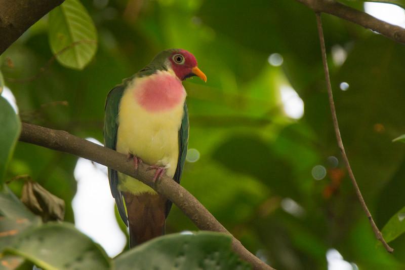A rare Jambu Fruit-Dove (Ptlinopus jambu) at Kent Ridge, Singapore, May 2016. [Ptlinopus jambu 002 KentRidge-Singapore 2016-05]