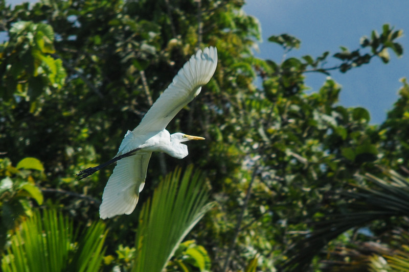 The Intermediate Egret (Egretta intermedia), the common egret of Australasia, in Sentani, Papua, October 2008. [Egretta intermedia 012 Sentani-Papua 2008-10]