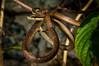 Coconut Tree Snake (Dendrelaphis calligastra) in Sentani, Papua, Indonesia. April 2013. [Dendrelaphis calligastra 004 Sentani-Papua 2013-04_TC]