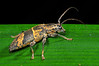 A type of Cerambycid Beetle (Tmesisternus divisus) from Sentani, Papua, Indonesia, July 2009. [Tmesisternus divisus 001 Sentani-Papua 2009-07]
