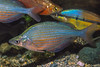 Dority's Rainbowfish (Glossolepis dorityi), known only from one small lake near Sentani, Papua. Photographed in 2000. [Glossolepis dorityi 002 Papua 2000]