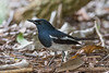 A male Oriental Magpie Robin (Copsychus saularis) at the Botanic Gardens in Singapore, May 2016. [Copsychus saularis 009 BotanicGardens-Singapore 2016-05]