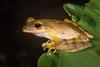 The Four-lined Tree Frog (Polypedates leucomystax), photographed at Bukit Tinggi, Malaysia, October 2015. [Polypedates leucomystax 001 BukitTinggi-Malaysia 2015-10]