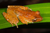 Male Cinnamon Frog (Nyctixalus pictus) resting on a pandan leaf in Central Catchment, Singapore, November, 2014. [Nyctixalus pictus 001 Singapore 2014-11]
