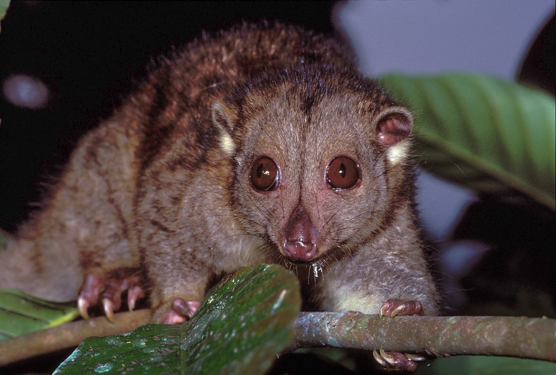 Adult Oriental Cuscus (Phalanger orientalis) from Yapen Island, Papua, Indonesia, 1990s. [Phalanger orientalis 001 YapenIs-Papua]