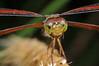 Painted Grasshawk Dragonfly (Neurothemis stigmatizans) on Yapen Island, Papua, Indonesia, January 2009. [Neurothemis stigmatizans 010 YapenIs-Papua 2009-01]
